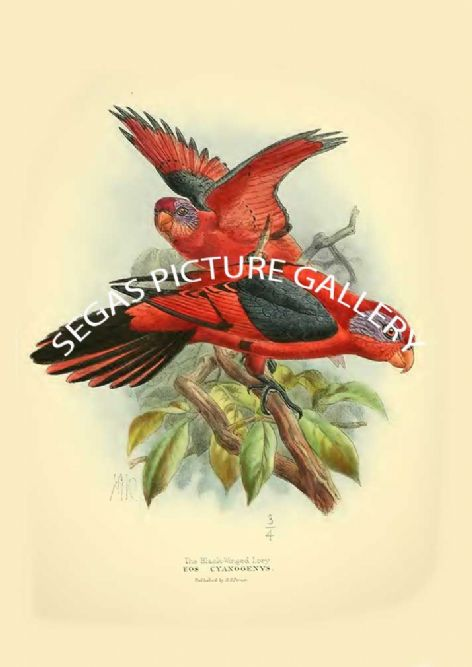 Fine art print of the Black-winged Lory - Eos cyanogenys by St George Mivart (1896)